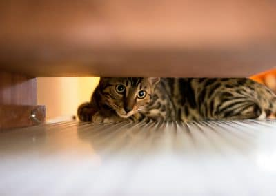 Bengal Cat under Cupboard